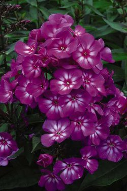 Candy Store Phlox