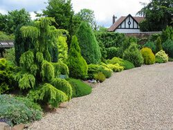 Conifer Shrubs