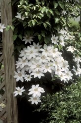 Henryi Clematis Featured Image