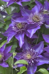 Multi Blue Clematis Featured Image