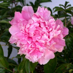Dr. Alexander Fleming Peony Featured Image