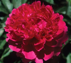 Felix Supreme Red Peony Featured Image