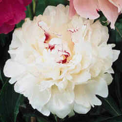 Festiva Maxima Peony Featured Image