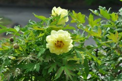 High Noon Tree Peony Featured Image