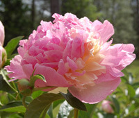 Raspberry Sundae Peony Featured Image