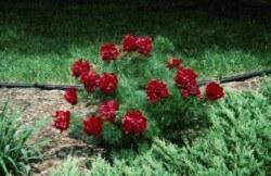 Rubra Flora Plena Fernleaf Peony Featured Image