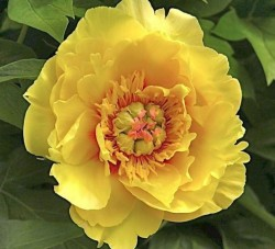 Sequestered Sunshine Itoh Peony Featured Image