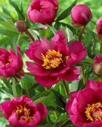 Yankee Doodle Dandy Itoh Peony Featured Image