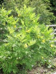 Yellow Tree Peony Featured Image