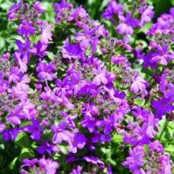 Alpinus Purple Erinus Featured Image