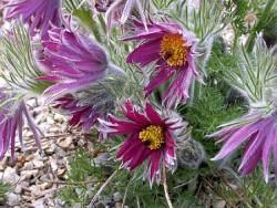Anemone Pulsatilla Pasque Flower Featured Image