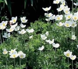 Anemone Snowdrop Featured Image