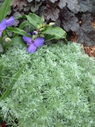 Artemisia Silver Mound Featured Image