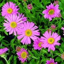 Aster Happy End Alpine Featured Image