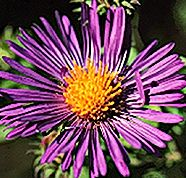 Aster Pink Bouquet Featured Image