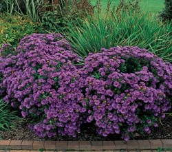 Aster Purple Dome Featured Image