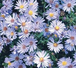 Aster Wood's Light Blue Featured Image