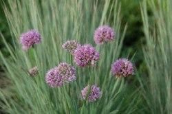 Allium Pink Pom Pom Featured Image