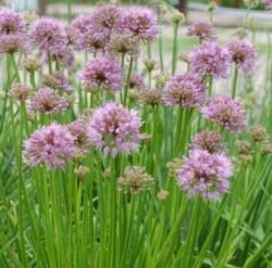 Allium Purple Lolly Featured Image
