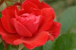 Super Hero Rose Featured Image