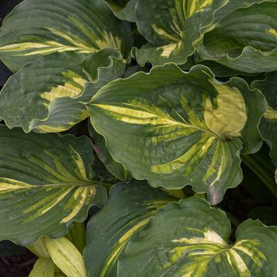 Bunch of Lakeside Paisley Print Hosta