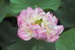 Ben Gibson Hardy Lotus Featured Image