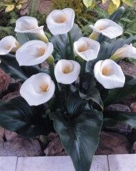 Calla Lily Featured Image