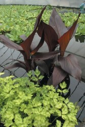 Canna – Bronze Water Canna Featured Image