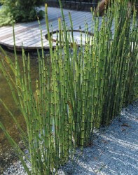 Horsetail Featured Image