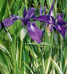 Iris – water iris varigated Featured Image