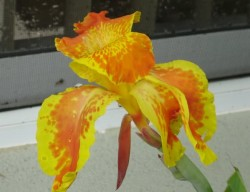 King Humbert Canna Featured Image