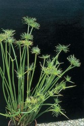 Papyrus – Dwarf Featured Image
