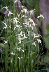 Star Grass Featured Image