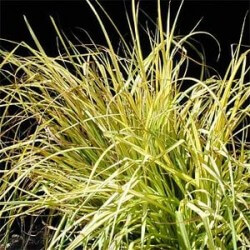 Tufted Grass Featured Image