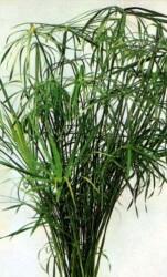 Umbrella Plant – Dwarf Featured Image