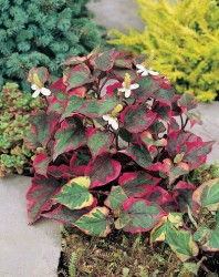 Variegated Chameleon Plant Featured Image