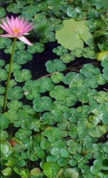 Water Clover – Upright Featured Image