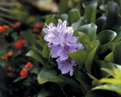 Water Hyacinth Featured Image