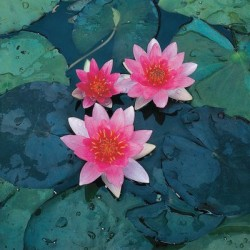 Water Lily – Pink Featured Image