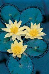 Water Lily – Yellow Featured Image