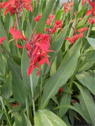 Canna, Endeavor Featured Image