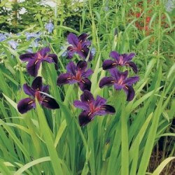 Iris, Louisianna Featured Image